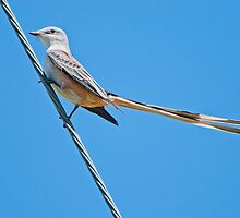 Scissor-tailed Flycatcher on High Wire by Bonnie T.  Barry