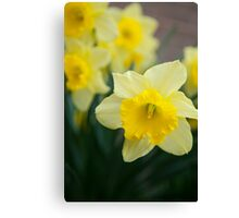 Daffodils at Noon Canvas Print
