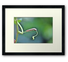Zebra Longwing Caterpillar Framed Print