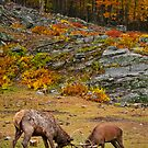 Elk And Red Deer Sparing by Michael Cummings