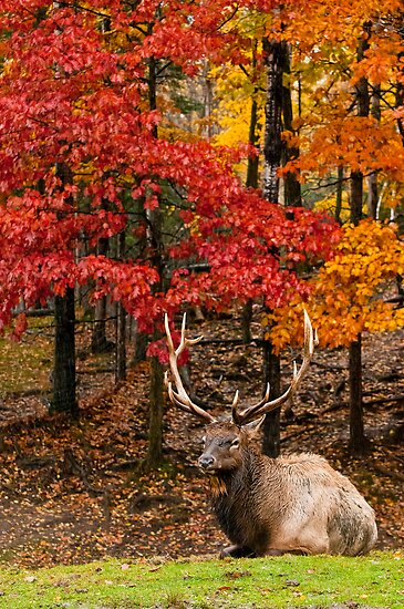 Bull Elk In Autumn Forest by Michael Cummings