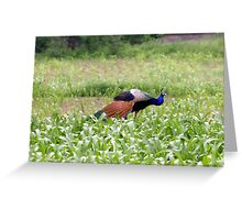 Peacock Colours Greeting Card