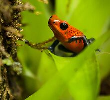 Blue jean dart frog by Jose Calvo