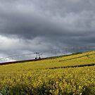 canola fields - Sassafras by gaylene