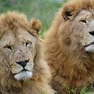 Taking care of Scarface (Panthera leo) by DebbyTownsend