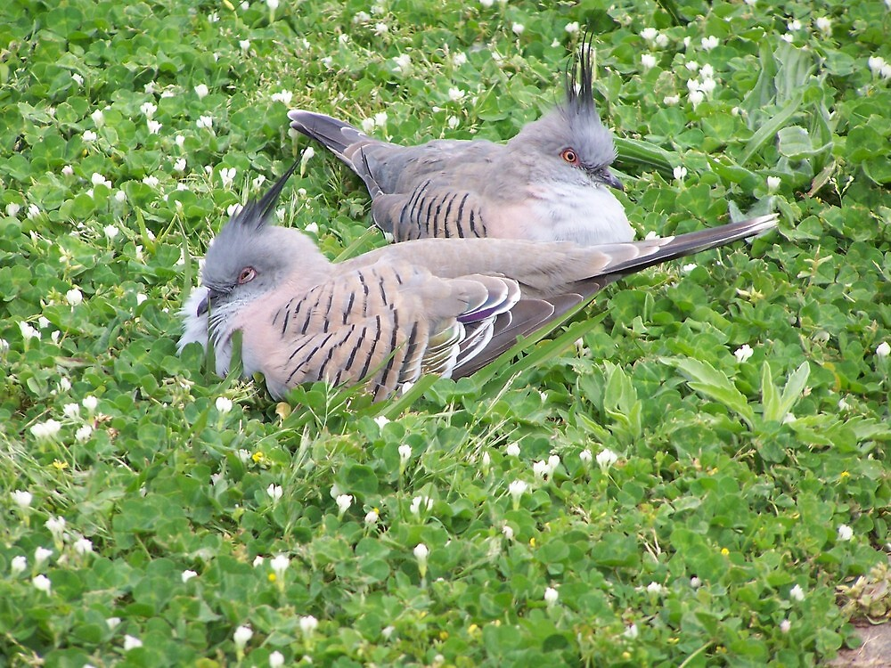 Crested Pigeons - Australia by shortshooter-Al