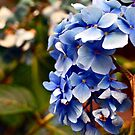 Blue Blossoms by Rae Tucker
