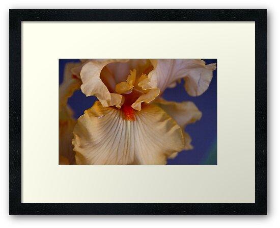 Iris heart by picketty