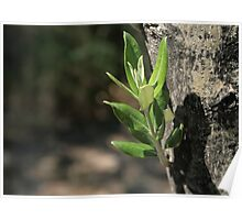 Mediterranean Olive Tree  Poster