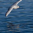 Seagull in flight by TC3 Photography