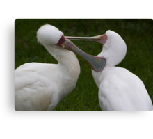 Grooming birds Canvas Print
