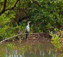 Long-tailed Cormorant by Sue Robinson