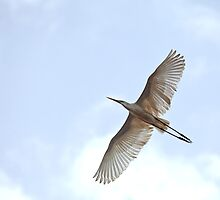 Great White Egret in flight by Sue Robinson