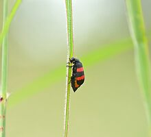 Two-banded Blister-beetle by Sue Robinson