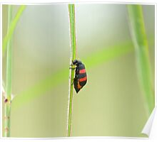 Two-banded Blister-beetle Poster