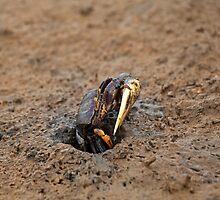 Fiddler Crab by Sue Robinson