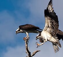OSPREY COURTSHIP by Joe Saladino