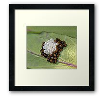 Common Green Shield Bugs Day 3 Framed Print