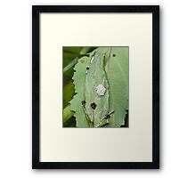Common Green Shield Bugs Day 4 Framed Print