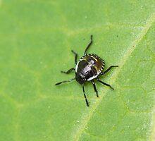 Common Green Shield Bug 2nd Instar by Sue Robinson