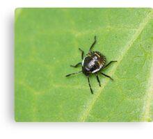 Common Green Shield Bug 2nd Instar Canvas Print