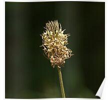 Ribwort Plantain flower Poster