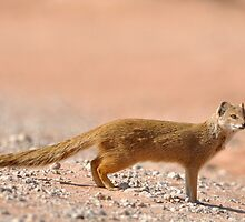 Mongoose by jeff97