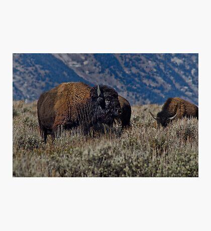 Bison Bull in the Sagebrush Photographic Print