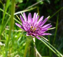 Purple Salsify by Jess Meacham