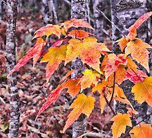 Small Maple by Aaron Bottjen