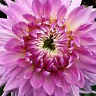 Pink Dahlia 2 by Jess Meacham