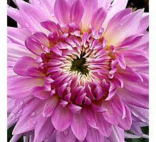 Pink Dahlia 2 Photographic Print