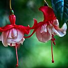 Fuchsia in HDR by ZWC Photography