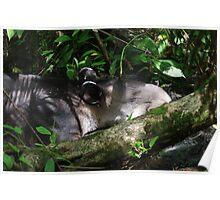Sleeping Tapir -- Corcovado National Rainforest, Costa Rica Poster