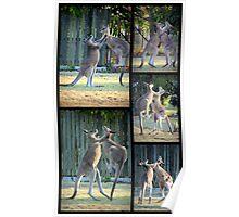 Boxing Kangaroos at Woodgate Beach Poster