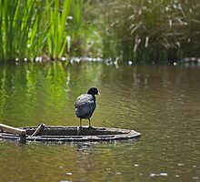 Coot by Sue Robinson