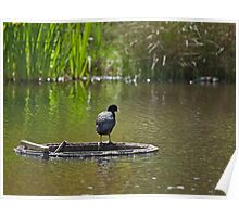Coot Poster