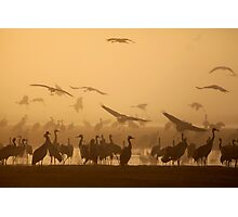 Common crane (Grus grus) Silhouetted at dawn Photographic Print