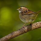 White-throated  Sparrow by Jeff Weymier