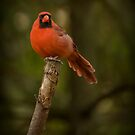 Northern Cardinal by Jeff Weymier