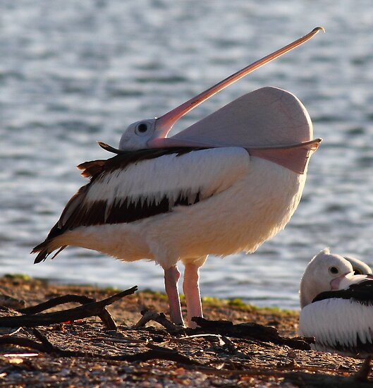 """""""A Mouth Full of Pelican"""" by jonxiv"""