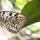 Tree nymph butterfly by ruth  jolly