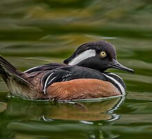 Hooded Merganser Lookback by Daniel  Parent