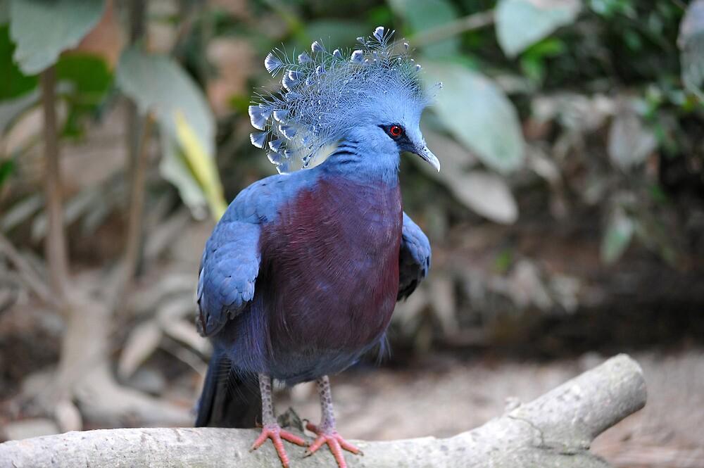 Victorian Crown Pigeon.  by Ralph de Zilva