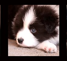 "BORDER COLLIE PUPPIES - Varinia ""Globalphotos"" by Varinia   - Globalphotos"