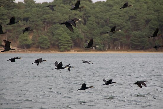 Cormorants by Country  Pursuits