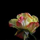 A rose by any name by Kestrelle