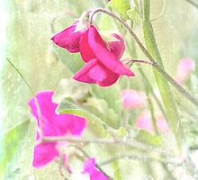 Sweet Pea by Dawn Cox
