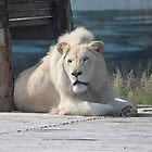 White lion by pisarevg