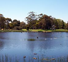 Swan On Lake Claremont by Robert Phillips